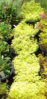 Sedums_yellowgroup_018