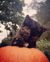 Kitten_and_pumpkin