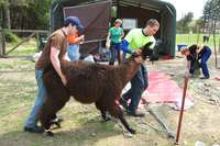 Llama_shearing_april_9_2011_085