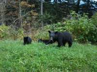 Bears_at_clingman_s_dome