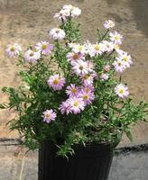 Aster_img_1283