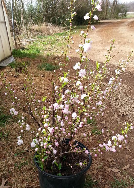 South cumberland farmers market locallygrown 2014 03 21floweringalmond shrub flowering almond mightylinksfo