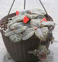Flameviolet_basket_044