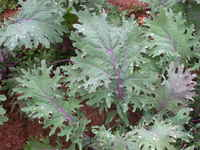 Kale-red_russian