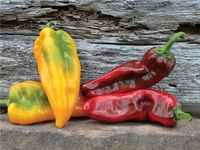Pepper-red-yellow-marconi-peppers