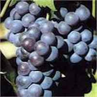 _mars-seedless-grape