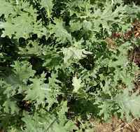 Red_russian_kale
