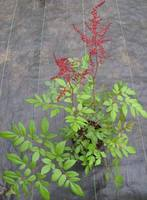 Red_astilbe_may07