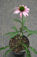 Aug11_2011_pink_coneflower